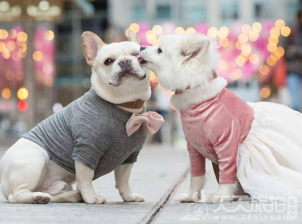 超恩爱狗夫妻拍婚纱 这才是真的让单身狗闪瞎【1】