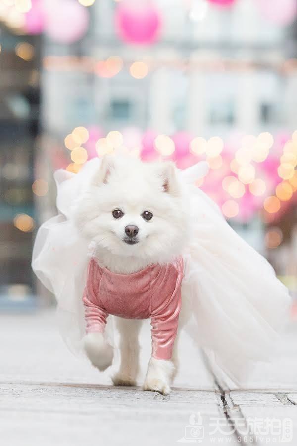 超恩爱狗夫妻拍婚纱 这才是真的让单身狗闪瞎【17】