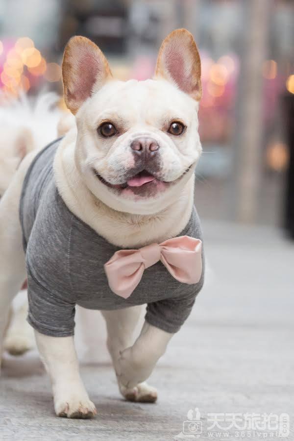 超恩爱狗夫妻拍婚纱 这才是真的让单身狗闪瞎【16】