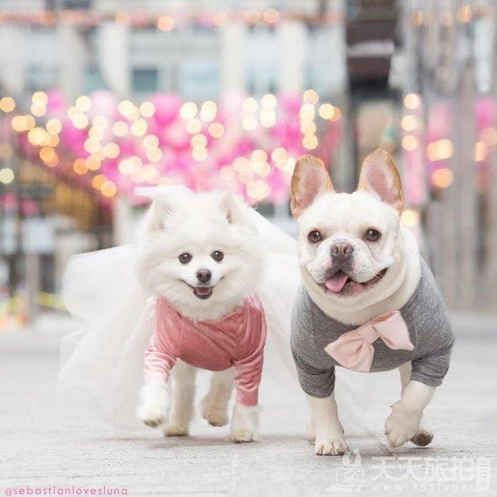 超恩爱狗夫妻拍婚纱 这才是真的让单身狗闪瞎【18】