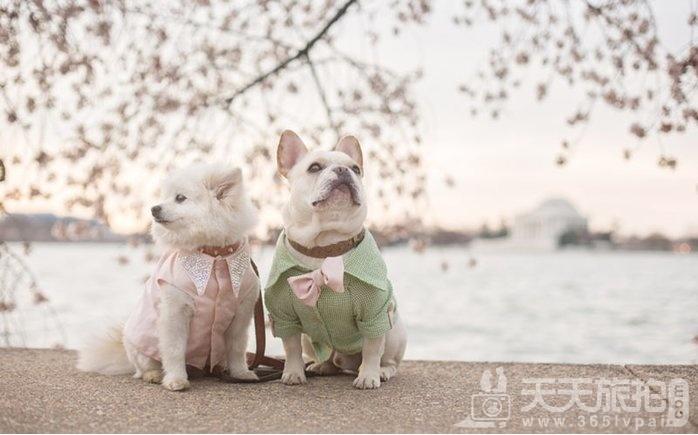 超恩爱狗夫妻拍婚纱 这才是真的让单身狗闪瞎【21】