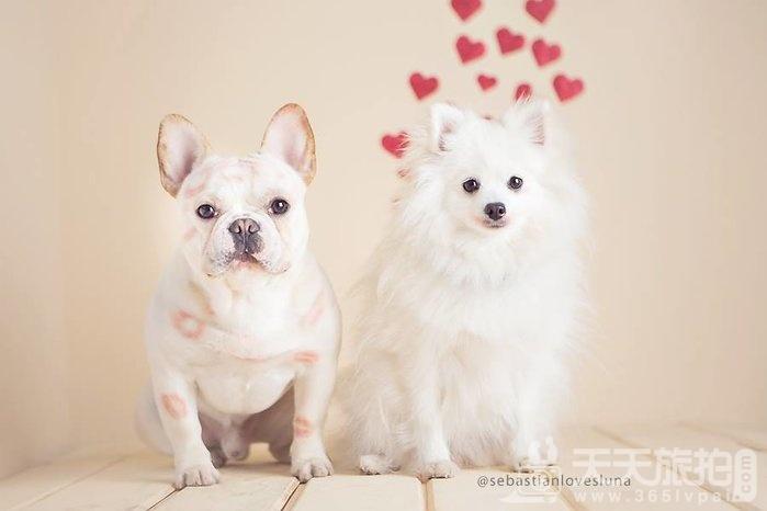 超恩爱狗夫妻拍婚纱 这才是真的让单身狗闪瞎【23】