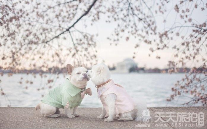 超恩爱狗夫妻拍婚纱 这才是真的让单身狗闪瞎【22】