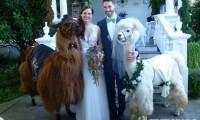 超萌草泥马伴娘出动 整场婚礼就给牠们当主角就好啦